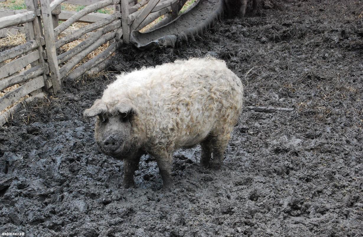 Свинья с шерстью как у барана