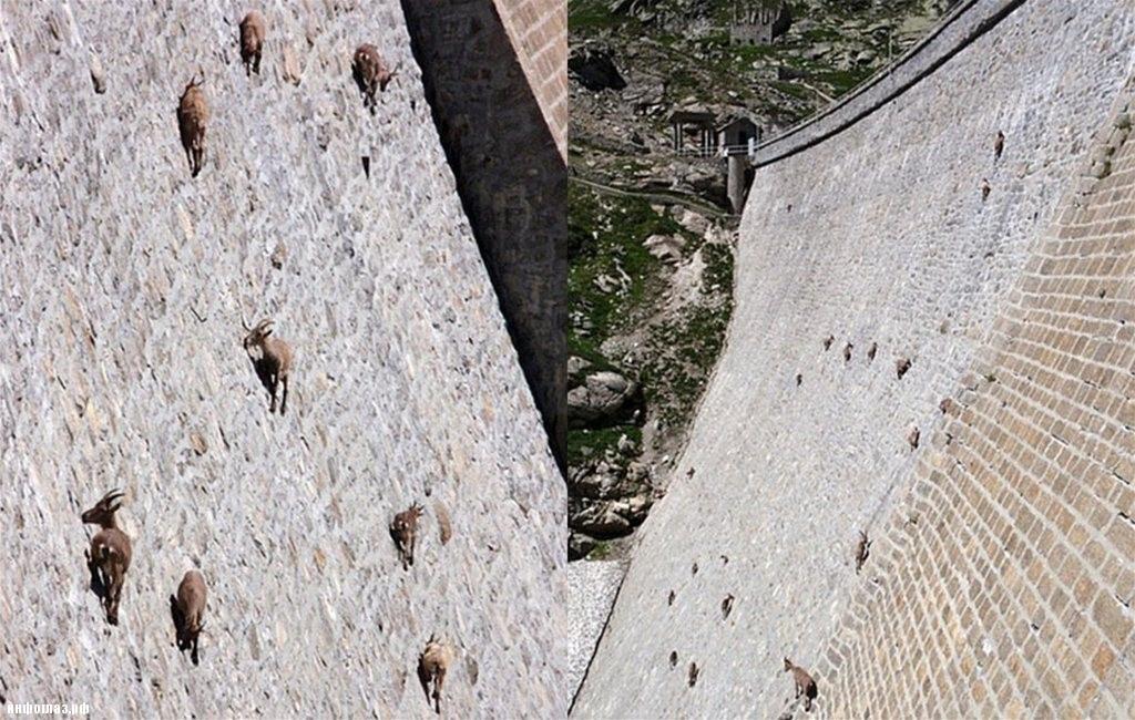 Ибексы или альпийские горные козлы (лат. . Capra ibex) Записи Наш мир УОЛ