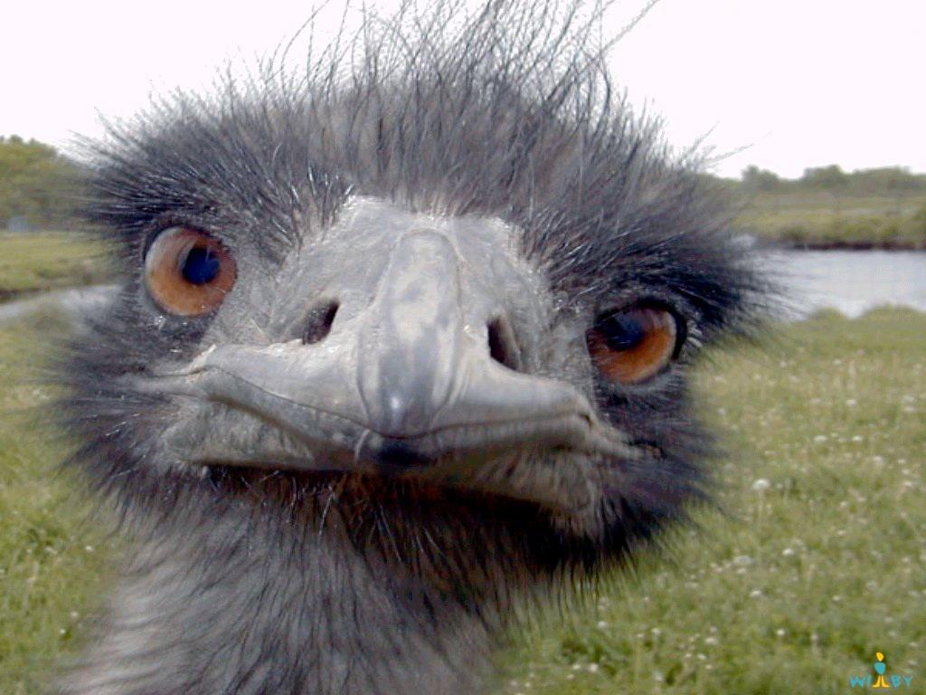 Великая война австралийцев со страусами эму новые фото