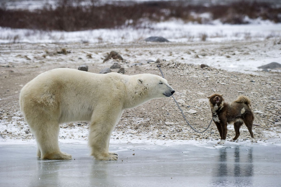 Сторожевой пес против белого медведя