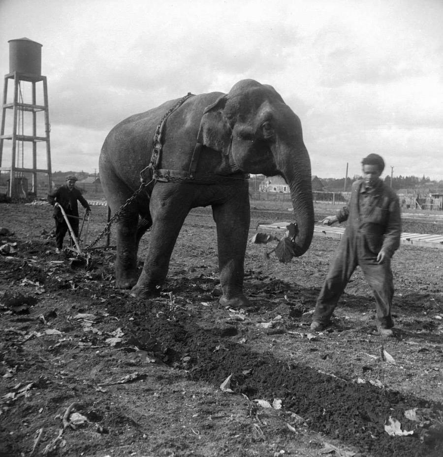 В Европе во время войн слоны заменяли лошадей