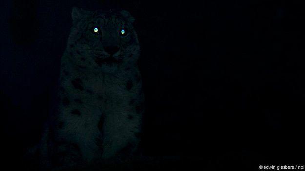Глаза большой кошки горят в темноте