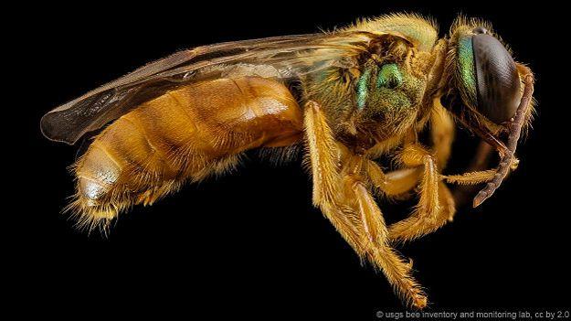 Пчелы-галиктиды