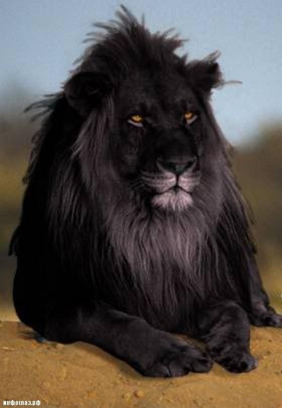 картинки черный лев