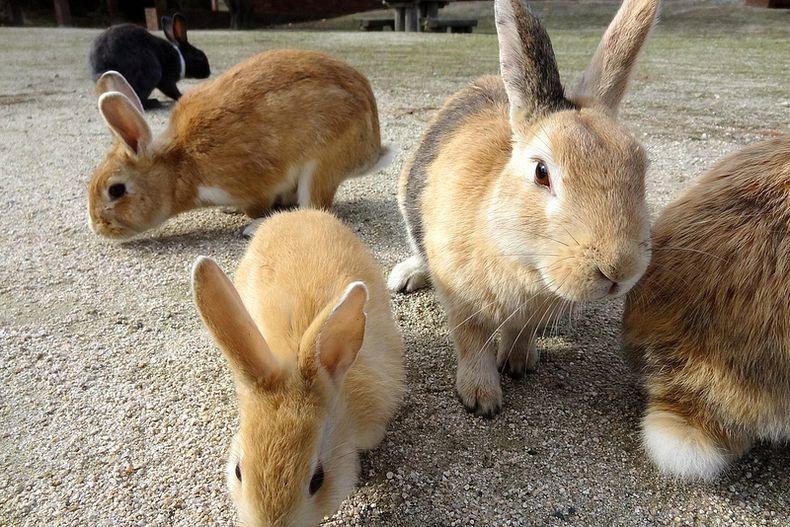 rabbitisland01 Окуносима – остров кроликов