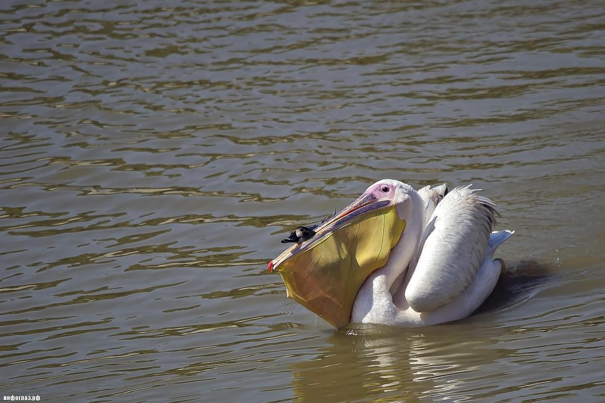 Пеликан в гадании