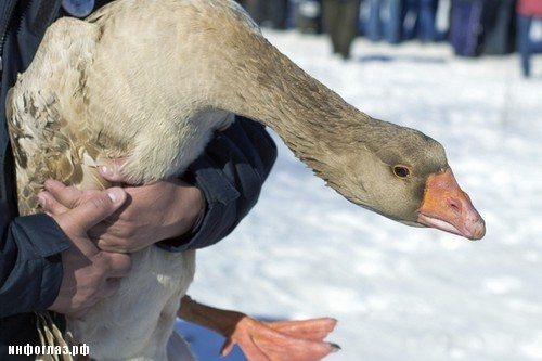 Decapitating-The-Goose-in-Spain