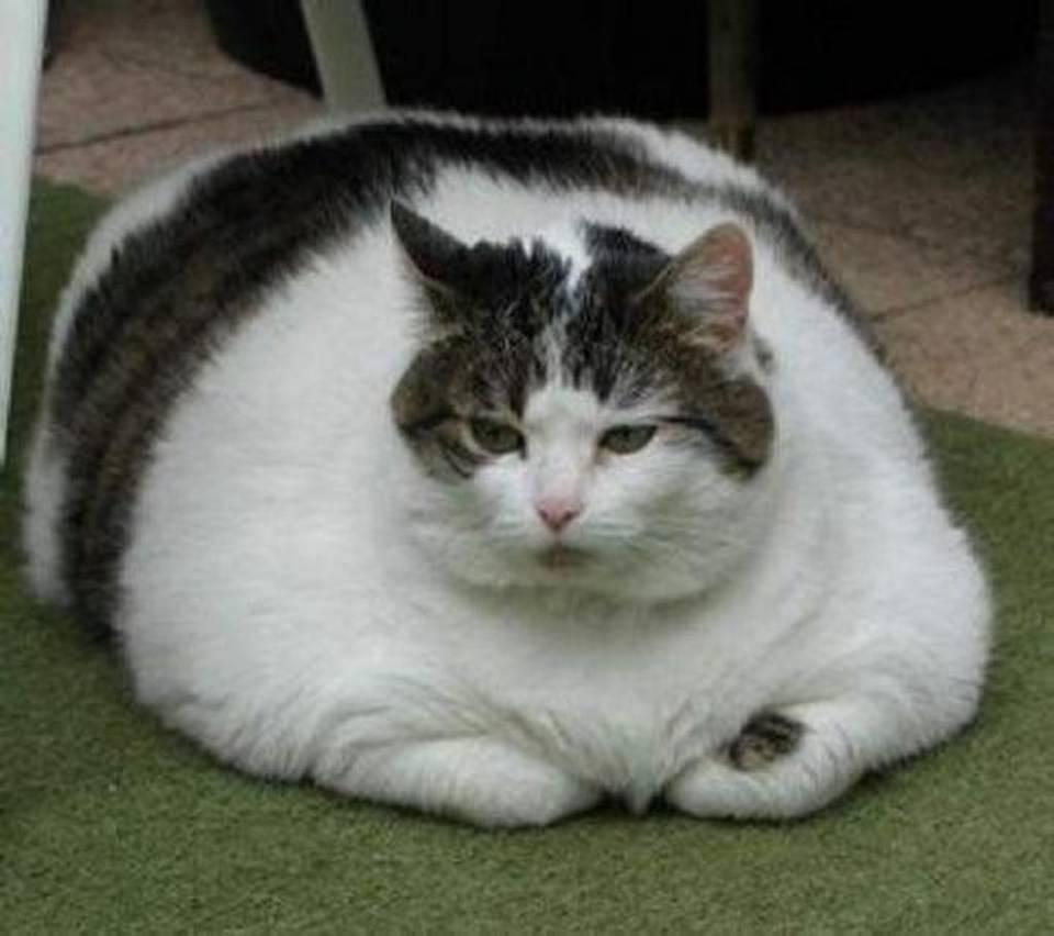 Самая жирный кот в мире фото