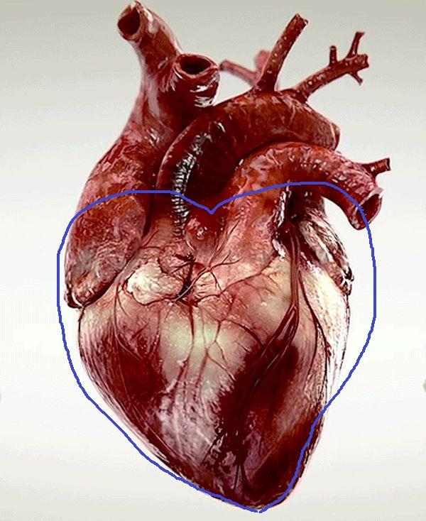 Так как сердце является органом