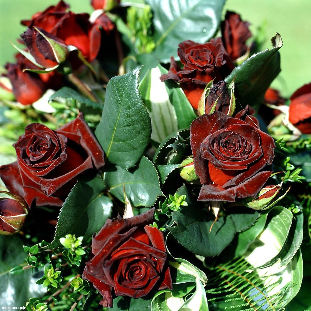 Чёрная роза цветы