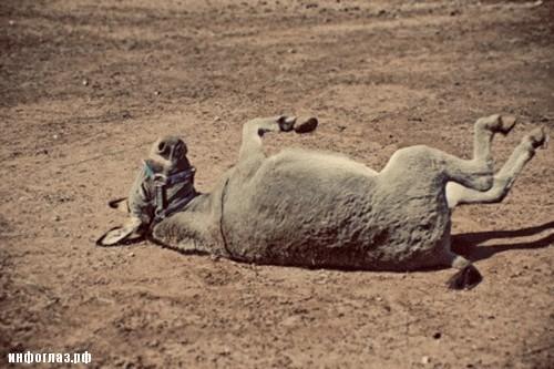 donkey-laugh