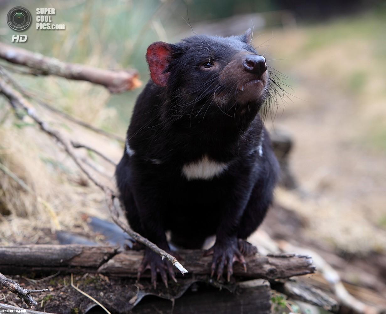 Тасманийский дьявол. (Tasty Snaks)