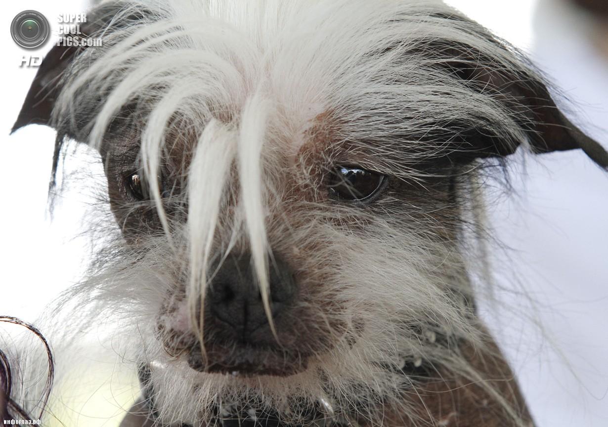 США. Петалума, Калифорния. 20 июня. Китайская хохлатая по кличке Зумер во время конкурса «Самая уродливая собака в мире 2014». (AP Photo/George Nikitin)