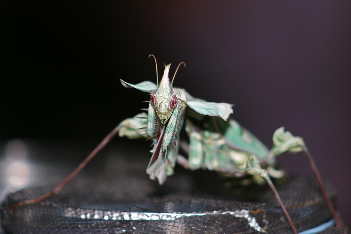 Представитель семейства Empusidae. (Steve Smith)