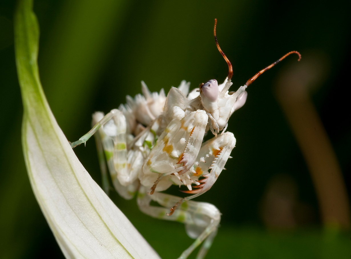 Представитель семейства Hymenopodidae. (Frupus)