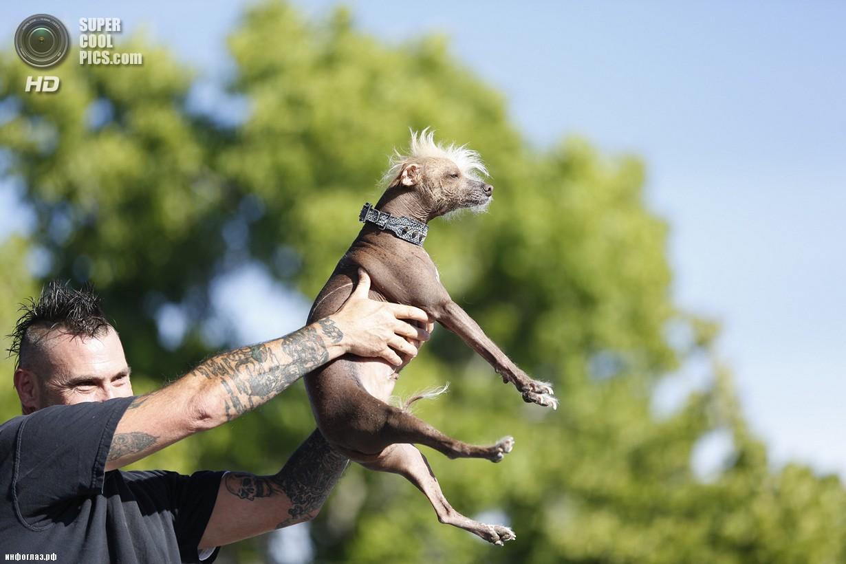 США. Петалума, Калифорния. 20 июня. Китайская хохлатая по кличке Ики во время конкурса «Самая уродливая собака в мире 2014». (REUTERS/Stephen Lam)