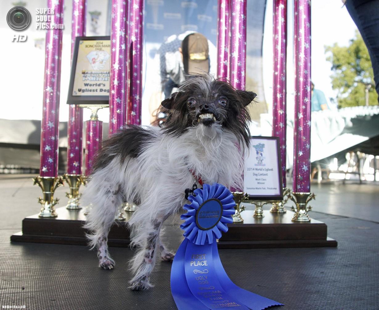 США. Петалума, Калифорния. 20 июня. Арахис во время награждения. (AP Photo/George Nikitin)