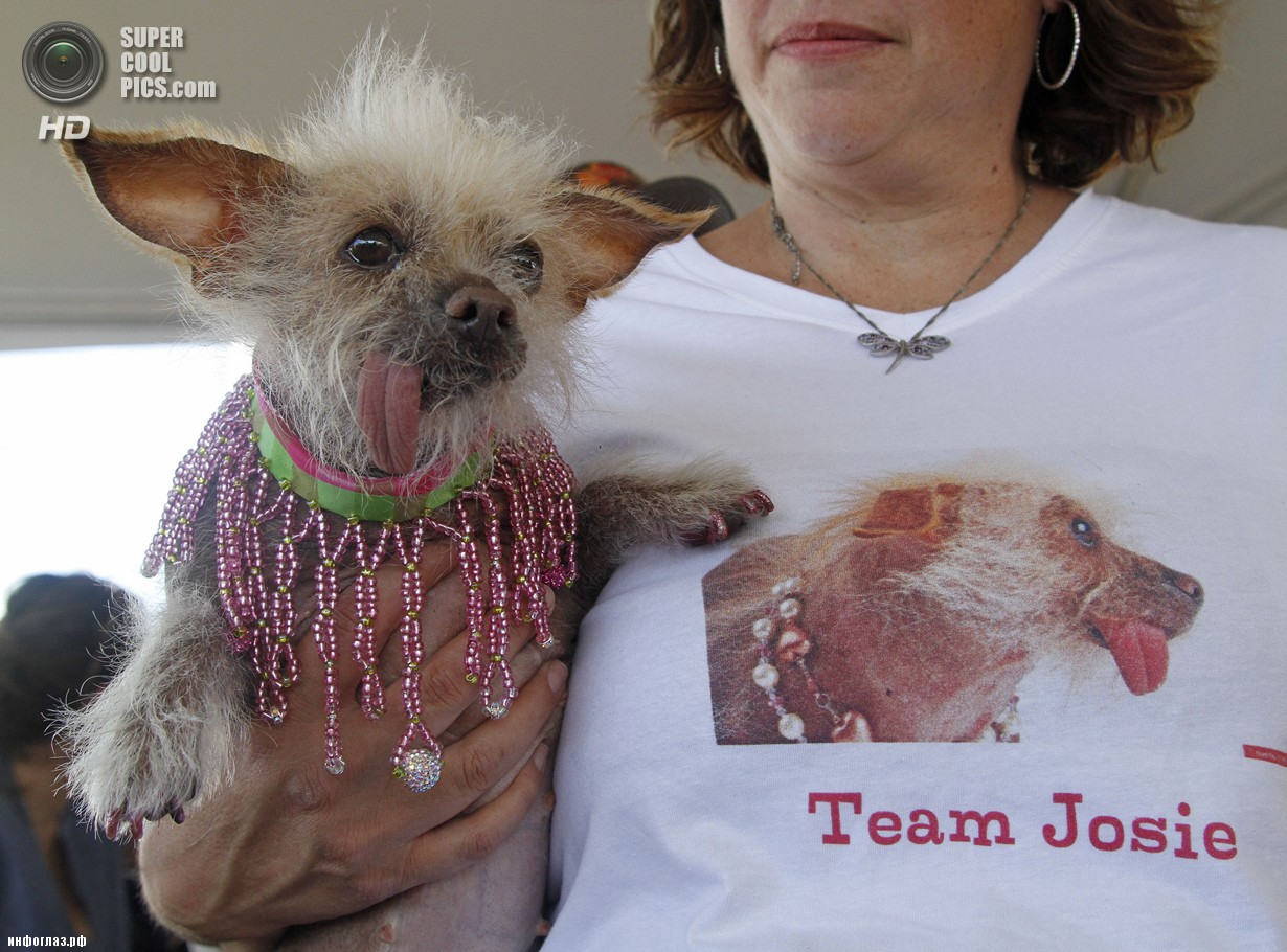 США. Петалума, Калифорния. 20 июня. Китайская хохлатая по кличке Джози во время конкурса «Самая уродливая собака в мире 2014». (AP Photo/George Nikitin)